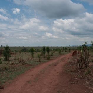 Skogsplantering, 12000 hektar monokultur